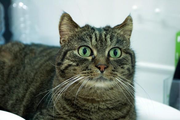 La cistite idiopatica felina